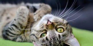 Tutti pazzi per i gatti, il 17 febbraio è la festa nazionale