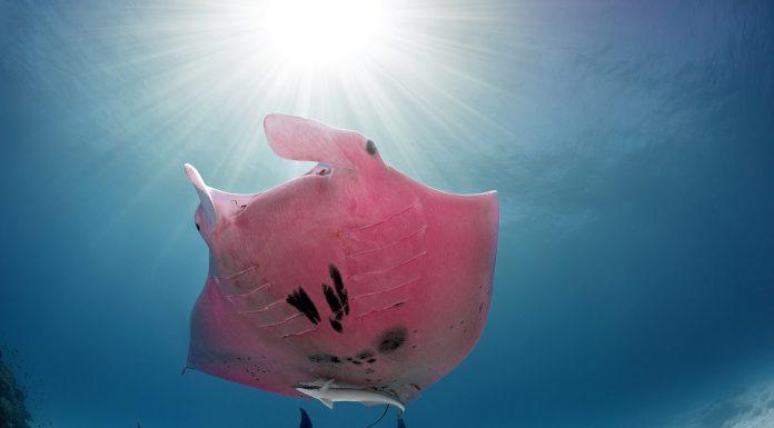 Mi è sembrato di vedere…. una manta rosa!